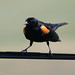 Red-winged Blackbird (male) | San Benito County Trip with Tom & Beth |
