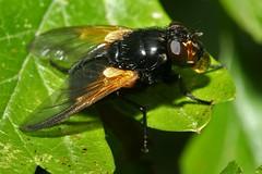 Mesembrina meridiana, la mésembrine du midi. (chug14) Tags: animalia arthropoda hexapoda insecta diptera brachycera muscidae muscinae muscini mésembrinedumidi muscameridiana mesembrinameridiana