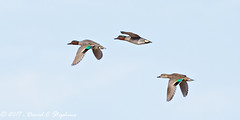 Green-winged Teal Fly By (dcstep) Tags: aurora colorado unitedstates us n7a6969dxo canon5dmkiv ef500mmf4lisii cherrycreekstatepark allrightsreserved copyright2016davidcstephens dxoopticspro1131 nature urban urbannature sanctuary pixelpeeper handheld duck greenwingedteal teal bif birdinflight flying flight wings fast three copyrightregistered04222017 ecocase14949772801