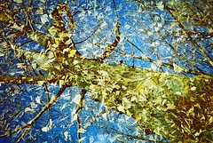 yellor and blue (Shoji Kawabata. a.k.a. strange_ojisan) Tags: lca kodak e100g 35mm film filmphoto filmphotography analog analogphoto analogphotography lomo lomography cross processing crossprocessing japan tokyo doubleexposure double exposure fall autumn 2016 winter early morning treet trees