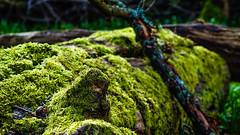 Moss on a dead tree (Matthieu Toulemonde) Tags: forest ashridge park england sony rx10 tree wood moss lichen
