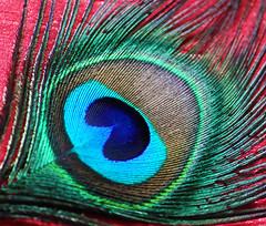 delicate (usha_karma) Tags: feathers peacockfeather green blue purple wildlife macro accessories life fashion culture religion hinduism hindugod lordkrishna love valentine'sday janmashtami krishnajanmashtami indianfestivals hindufestivals softness delicate