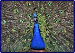 Peacock/Paon(1) (Ioan BACIVAROV Photography) Tags: peacock paon bird birds color colourful bacivarov ioanbacivarov bacivarovphotostream interesting beautiful wonderful wonderfulphoto nikon journalism photojournalism