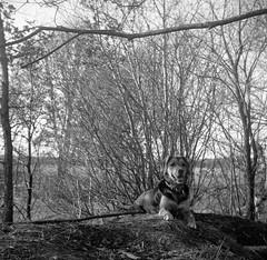 The assistant takes a break (Rosenthal Photography) Tags: ff120 ilfordhp4 natur winter mittelformat landschaft 6x6 städte zeissikonnettar51816 anderlingen lucy asa125 analog 20170401 dörfer siedlungen landscape nature dog hound zeiss ikon nettar ilford hp4 hp4plus epson v800 blackandwhite bw mediumformat