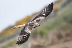 Red kite (Shane Jones) Tags: redkite kite raptor bird birdinflight birdofprey wildlife nature nikon d500 200400vr tc14eii