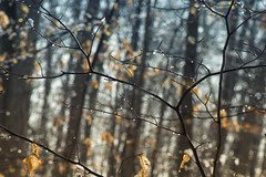 whimsical branches (Jaayelle ✿) Tags: tree branch waterdrops beechtree bokek dof beech water drop leaves snow sky bokeh