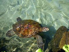 The Hawaiian green sea turtle (Chelonia mydas) (Scot Nelson) Tags: hawaiian green sea turtle cheloniamydas