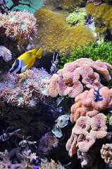 Acquario di Genova (veryg83) Tags: acquariodigenova infondoalmar coralli pesci underthesee italia italy fishes coral