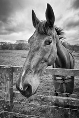 Whassup (aveyardphotography) Tags: horse pony black white mono monochrome fence paddock field nature north yorkshire huttons ambo nose ears eye lokking listen listening cloudy