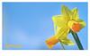 Spring Wallpaper (pallab seth) Tags: macro dof spring flower barking park england london signofspring bokeh nature daffodil garden springgarden barkingpark yellow blue 2017 samsung60mmf28macroedoisssalens samsungnx1 wallpaper