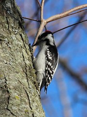 Downy Woodpecker (Janet Tubb) Tags: bird downywoodpecker whitby ontario canada woodpecker dryobatespubescens cranberrymarsh