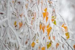 Frozen leafs composition (luigig75) Tags: frozen ghiaccio leafs nature cold winter ice snow galaverna givre brouillard givrant brina albero foglie congelati branches landscape natura france francia 70d canon canonef70200mmf4lusm