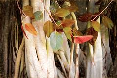 Moreton Bay Fig (Ⅾorothy) Tags: moretonbayfig tree roots romastreetparkland brisbane sliderssunday