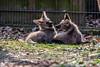 20170402-Mähnenwolf, Tiergarten Nürnberg-024.jpg (serpentes80) Tags: mähnenwolf tiere tiergartennürnberg
