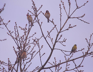 2 goldfinches, a chaffinch and a siskin on a treetop