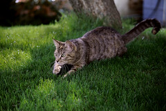 The Hunt (LolaxTantrax) Tags: chasse hunt félin 6d green cat nature