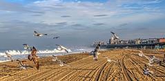 Birds on the Beach Panorama (Michael F. Nyiri) Tags: torrancebeach birds seagulls beach ocean pacificocean california southerncalifornia