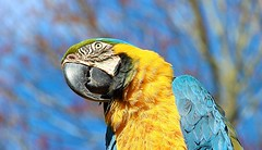 """Mr Macaw  """"Who's a pretty Boy"""" (Bogger3.) Tags: malemacaw allerford exmoornationalpark somerset blue yellow green black canon600d canon18x135lens sharpbeak coth coth5"""