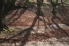_DSC1581 (adrizufe) Tags: otzarreta zeanuri arratia winter invierno deadleaves hojarasca shadows nikonstunninggallery nikon d7000 ngc nature naturaleza adrizufe adrianzubia aplusphoto ilovenature bizkaia visiteuskadi