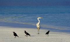 Grey Heron in Morning Light (sylviafurrer) Tags: meer sea graureiher greyheron morgenlicht morninglight strand beach malediven maldives