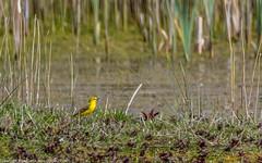 9Q6A5361 (2) (Alinbidford) Tags: alinbidford alancurtis brandonmarsh greyheron greylaggoose snipe moorhen yellowwagtail