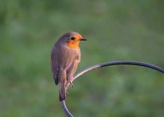 evening robin (Emma Varley) Tags: robin bird warmlight garden wild nature sunset elegant redbreast circle round metal bokeh