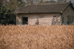 大雅麥田 (王宇信) Tags: sel55210 台灣 taiwan a6000 sony 小麥 wheat taichung