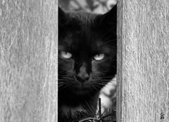 _DSC2394 - Chat noir (Le To) Tags: nikond5000 extérieur noiretblanc nerosubianco bw monochrome animal chat cat gatto