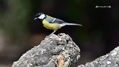 Parus major #2 (José M. F. Almeida) Tags: birds portugal chapimreal great tit parus major