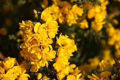 The gorse explosion (Kez West) Tags: yellow flowers gorse spring april shrub wildflower bright petals blooms flowering gorgeousgoldengorse