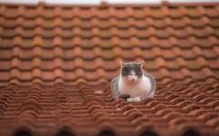 kittens (42) (Vlado Ferenčić) Tags: cats catsdogs kitty kittens zagorje hrvatska hrvatskozagorje croatia vladoferencic vladimirferencic nikond600 nikkor8020028 animals animalplanet