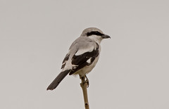 DSC2705  Great Grey Shrike.. (jefflack Wildlife&Nature) Tags: greatgreyshrike shrike shrikes birds avian animal wildlife wildbirds woodlands farmland copse clearfell countryside nature migrants moorland yorkshire