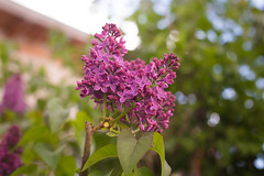 Lilac (blooddrainer) Tags: lilac tree nature macro spring