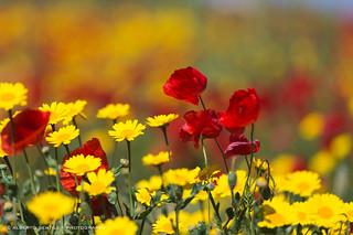 La meravigliosa insolenza del papavero che cresce ovunque e incurante di tutto regala il suo rosso a chi sa accorgersi. (Ginevra Cardinal)