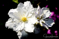 White Clematis (jhambright52) Tags: whiteclematis clematis macroflower whitemacroflowers flowercloseup ngc coth5 doublefantasy