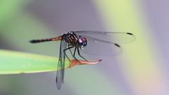 Blue Dasher??, Female (jaytee27) Tags: costarica tortuguero bluedasherdragonflyfemale pachydiplaxlongipennis naturethroughthelens