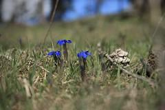 gentianes (bulbocode909) Tags: gentianes fleurs nature montagnes printemps vert bleu prairies montchemin valais suisse alpagedutronc