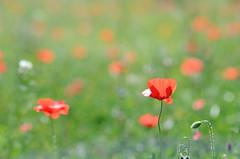 Red spot (ciccioetneo) Tags: poppy redpoppy bokeh creamybokeh shallowdof nikon85mm18d nikond7000 wildpoppy redpoppies franchetto borgofranchetto catania sicily sicilia ciccioetneo