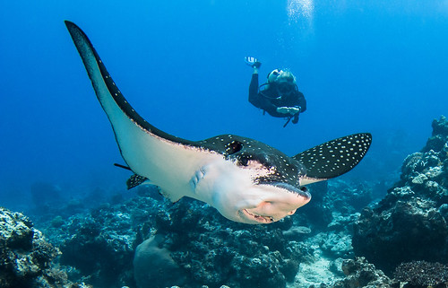 Eagle ray with Diver