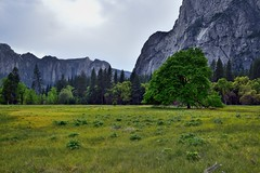 Looking Across a Meadow to Nearby Trees and Far-off Mountain Peaks (Yosemite National Park) (thor_mark ) Tags: capturenx2edited cathedralrocks cathedralspires centralyosemitesierra colorefexpro cook'smeadow day3 elmtree grassymeadow hillsideoftrees lookingse mountains mountainsindistance mountainsoffindistance mountainside nature nikond800e overcast pacificranges project365 sierranevada trees triptopasoroblesandyosemite yosemitenationalpark yosemitevalley yosemiterittersierranevada california unitedstates