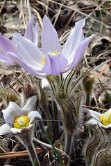 American Pasqueflower (pchgorman) Tags: americanpasqueflower anemonepatens anemone ranunculaceae flowers taxonomy:binomial=anemonepatens pleasantvalleyconservancy danecounty wisconsin prairied savannahs april