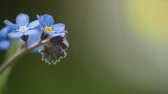 Forget-me-not (Myosotis) (Stefan Zwi.) Tags: vergissmeinnicht forgetmenot 105mm f28 sigma sony a7 ilce7 emount farbe flora closeup macro nature background ngc npc