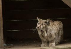 IMG_5497 (heguenter) Tags: natur 2017 ostern gangelt tierpark wisent wolf luchs vogel