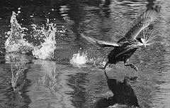 """""""Paltan"""" (Jean-Luc Léopoldi) Tags: bw noiretblanc oiseaux animaux printemps nid paille hurry rush splash eau rivière éclabousser reflets reflection wings ailes bec"""