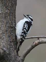 Downy Woodpecker (Janet Tubb) Tags: bird downywoodpecker oshawa ontario canada woodpecker dryobatespubescens