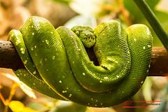 Green tree python (Morelia viridis) (Thoober) Tags: 2016 70d canon eos tiere wuppertal zoo snake schlange green treepython moreliaviridis reptile