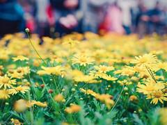 000044840013 (matthew_image) Tags: 80mm f28 mamiya m645 645 1000s film kodak portra 160 iso iso160 filmisnotdead films portra160 flower flowers hong kong hongkong hk hongkonger color colours colour colorful colors colourful