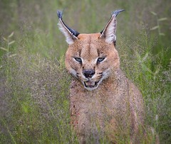 Namibian Caracal (Sas & Rikske) Tags: namibian caracal lynx afrika africa cat canon100400 portrait