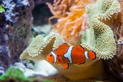 Clown Fish (Chen Yiming) Tags: shedd aquarium sheddaquarium animal aquatic chicago illinois clown fish clownfish seaanemone amphiprioninae anemonefish coral