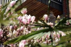(colorinspirit) Tags: windchimes airbells seashellsdecor blur bokeh details palmtree magnolia magnoliablossom balconydecor flowerpower springflowers